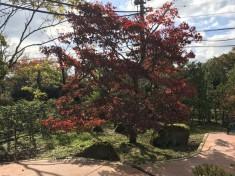 庭の紅葉が紅葉の盛りです。